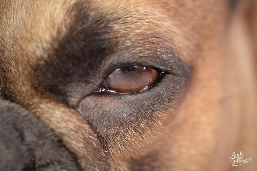Hund Französische Bulldogge Gesundheit Wucherung am Auge