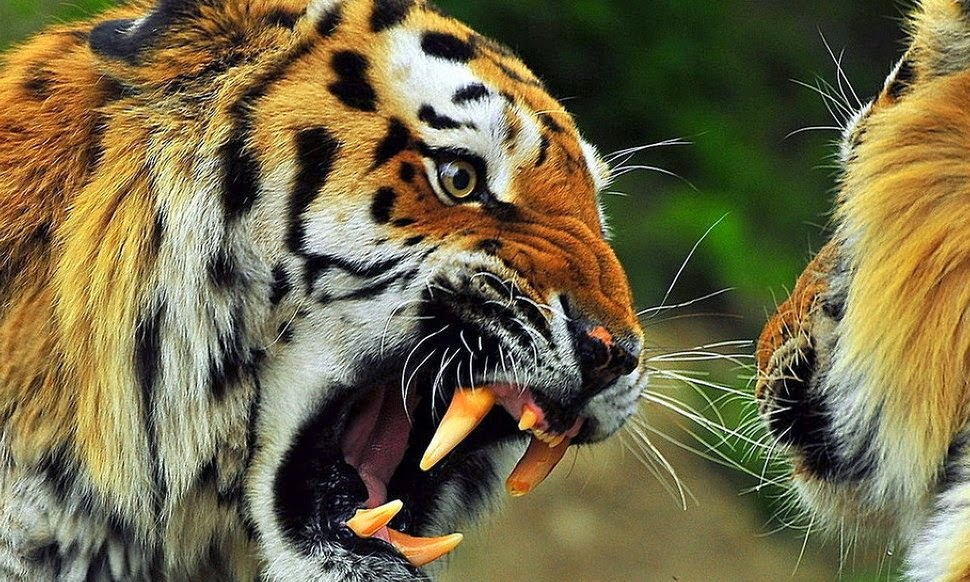 Angry Tiger Wallpaper Hd