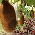 Embrapa licencia produtores de sementes de cupuaçuzeiro
