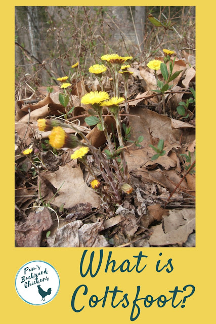 what is coltsfoot