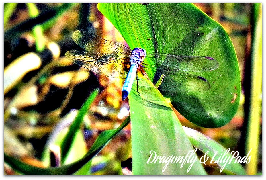 Dragonfly, Lily Pads, Lace wings, Blue, Black, Green