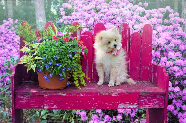 Awesome facts about Pomeranian