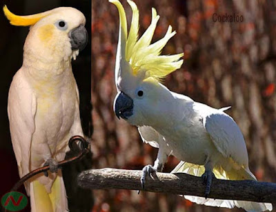 cockatoo, কাকাতুয়া