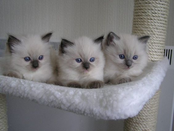 I love Siamese cats!