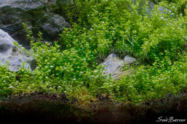 藍藻 エビ