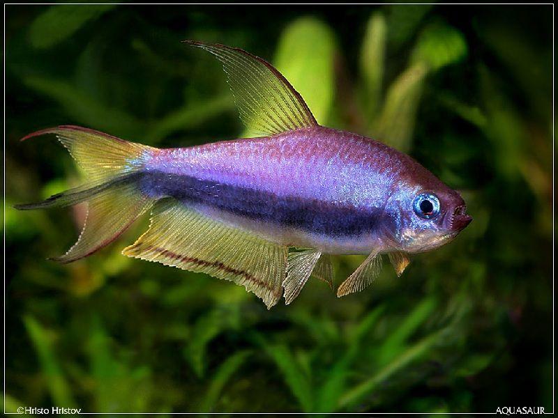 ikan hias yang mudah dipelihara di akuarium