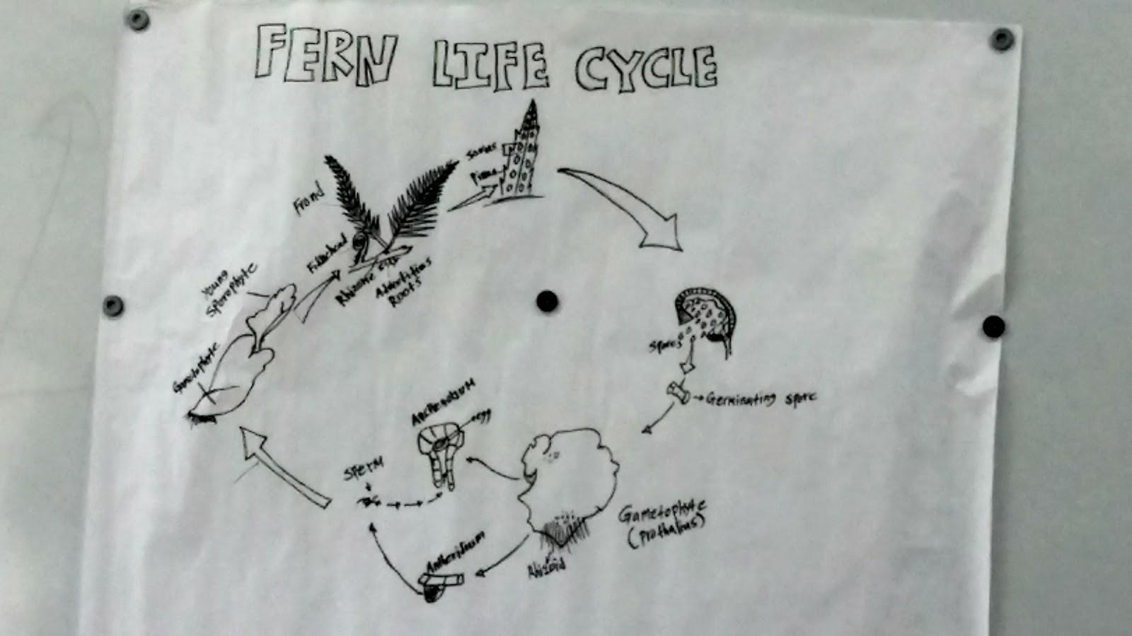 Monilophyte And Lycophyte Presentations