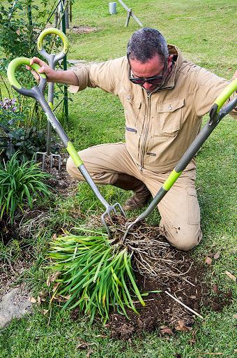 ディギング・ホークで根茎を分ける