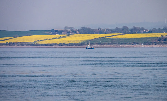 Photo of rape fields through the hazy sunshine on the Solway Firth on Saturday