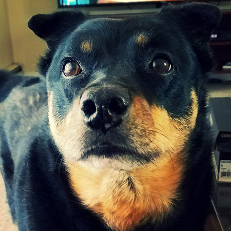 image of Zelda the Black and Tan Mutt in close-up, as she looks up with plaintive eyes