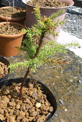 杉のミニ盆栽①