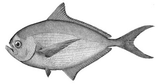 Kandungan Gizi Dari Ikan Bawal