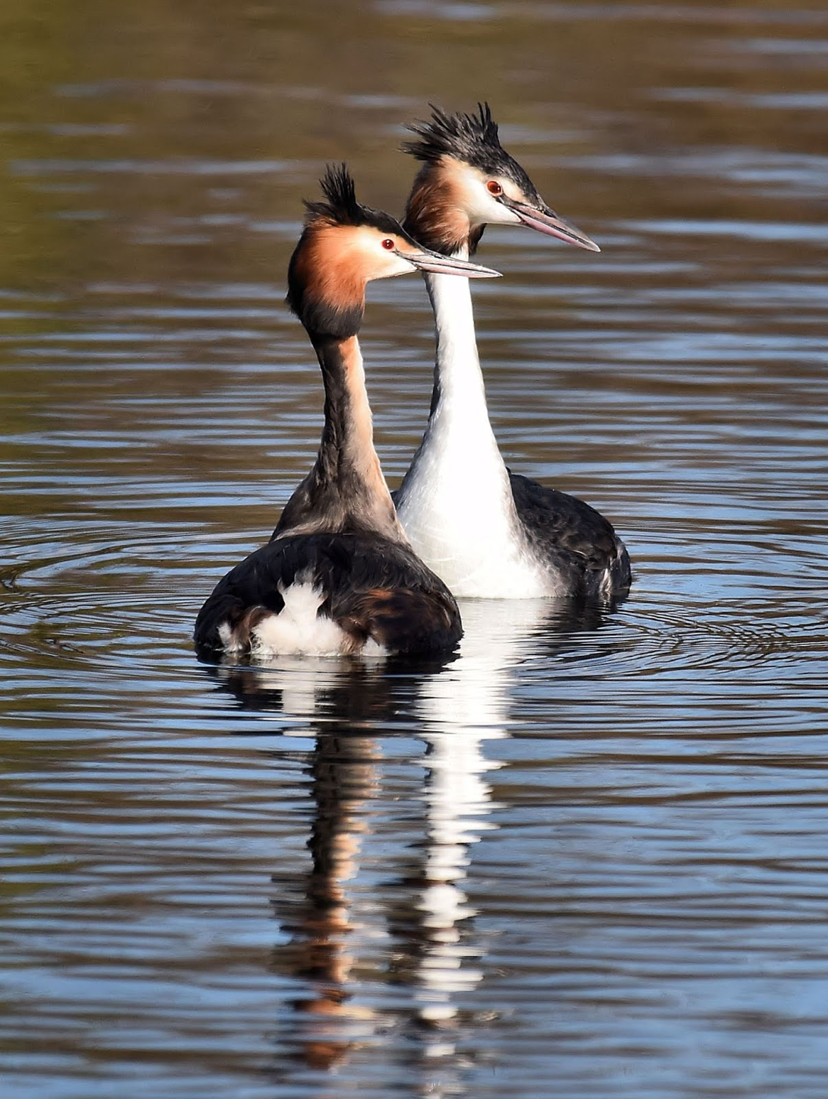 Pear tree and Beyond: 'On Reflection'- Great Crested Grebe