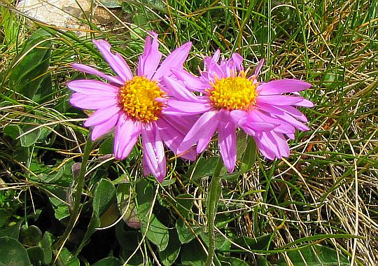 Aster alpejski (Aster alpinus).