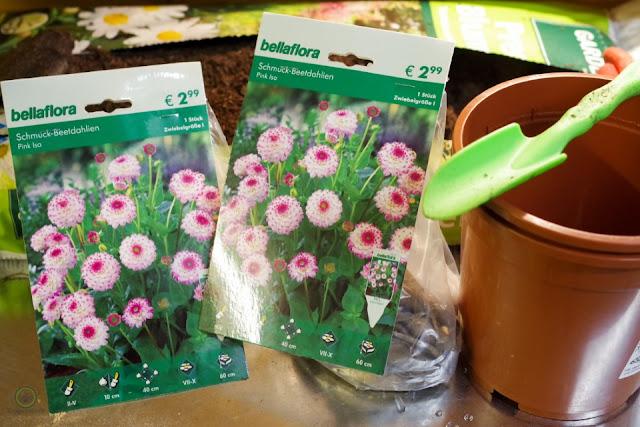 Dahlien, Ranunkeln und Anemonen vorziehen - Gartenblog Topfgartenwelt