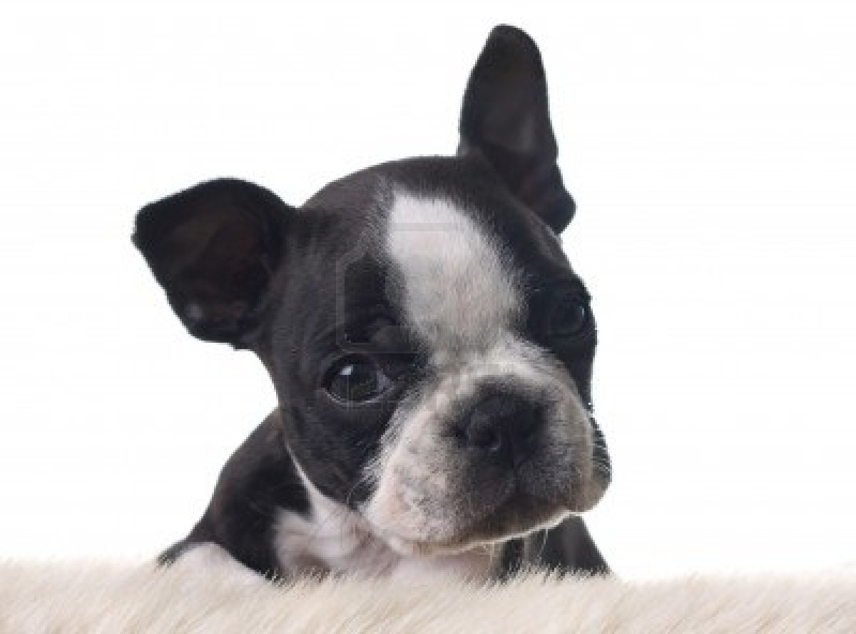 Cute Puppy Dogs White Boston Terrier Puppies