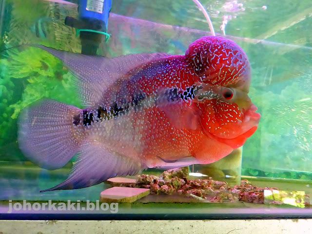 Flower-Horn-Fish