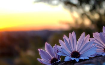 Wallpaper: Purple wild flowers at sunset
