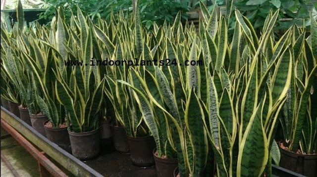 sansevieria trifasciata snake plant image