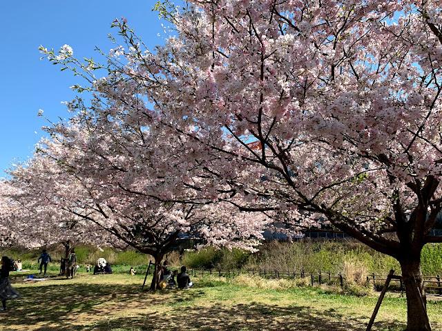 みなきたウォーク・早渕川でお花見!「早淵川親水広場」の桜が満開で見頃を迎える