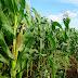 Bulog Siap Bantu Petani Jagung tapi Terkendala Juknis