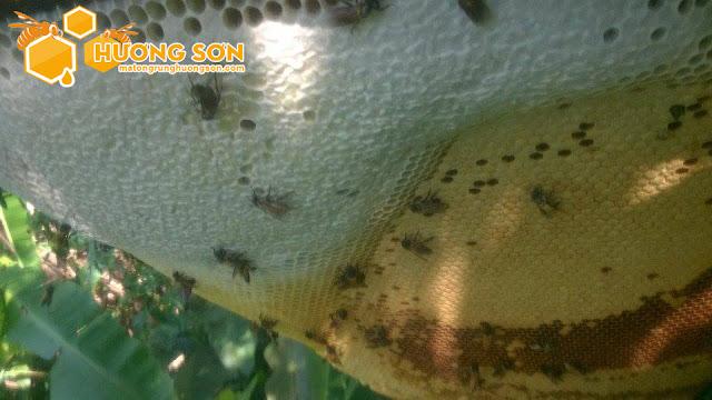 Những điều cần biết về mật ong rừng
