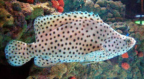 hampir semua pemancing kenal dngan ikan yang satu itu terutama pemancing di salt water at Kenali Jenis Jenis Ikan Kerapu Untuk Menambah Referensi Para Pemancing