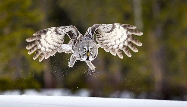 Burung hantu terbesar di dunia terancam punah Burung hantu Blakiston, Burung Hantu Terbesar di Dunia yang Terancam Punah