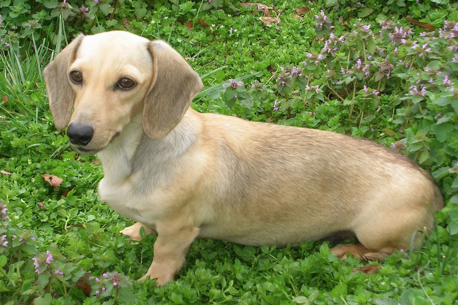 Adult dachshunds for sale