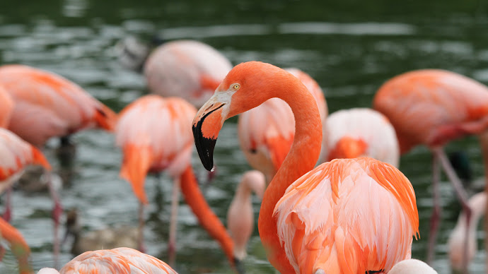 Wallpaper: Lovely Birds Flamingos