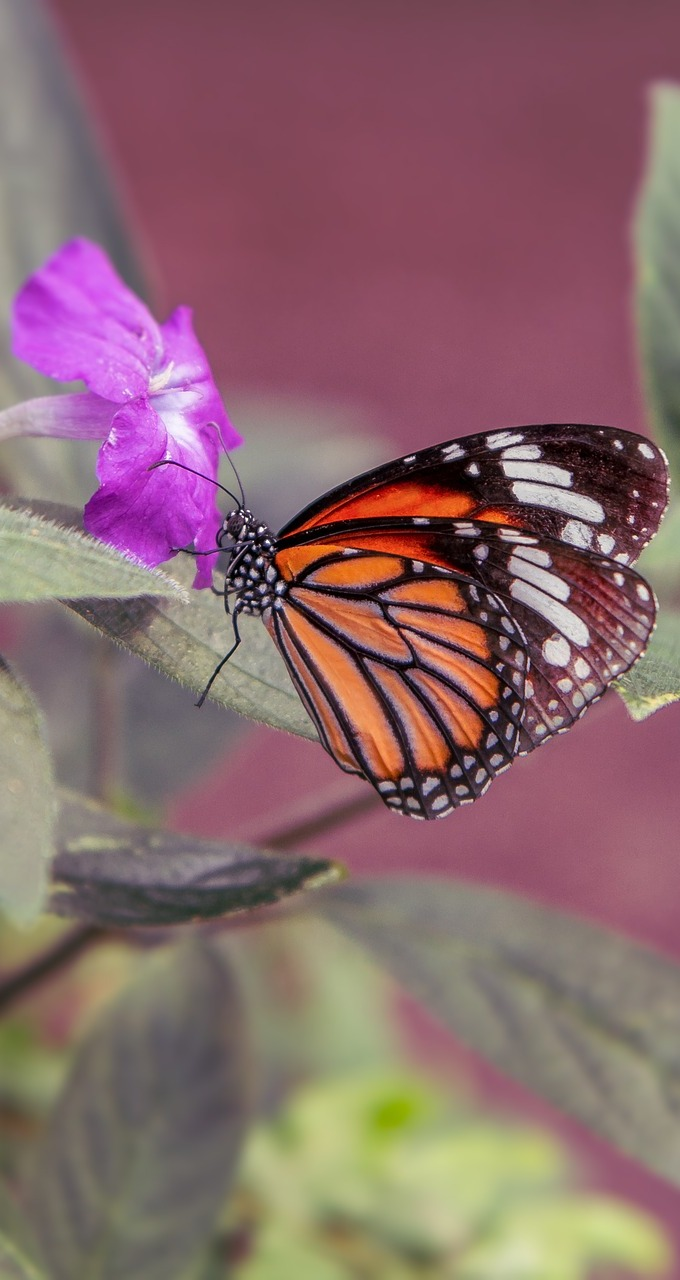Picture of a beautiful monarch butterfly.