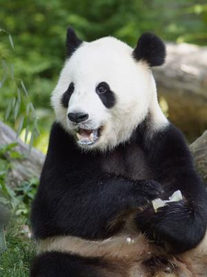 Oso Panda gigante con la boca abierta