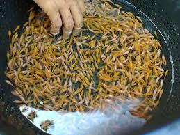 Cara Membuat Pelet Ikan