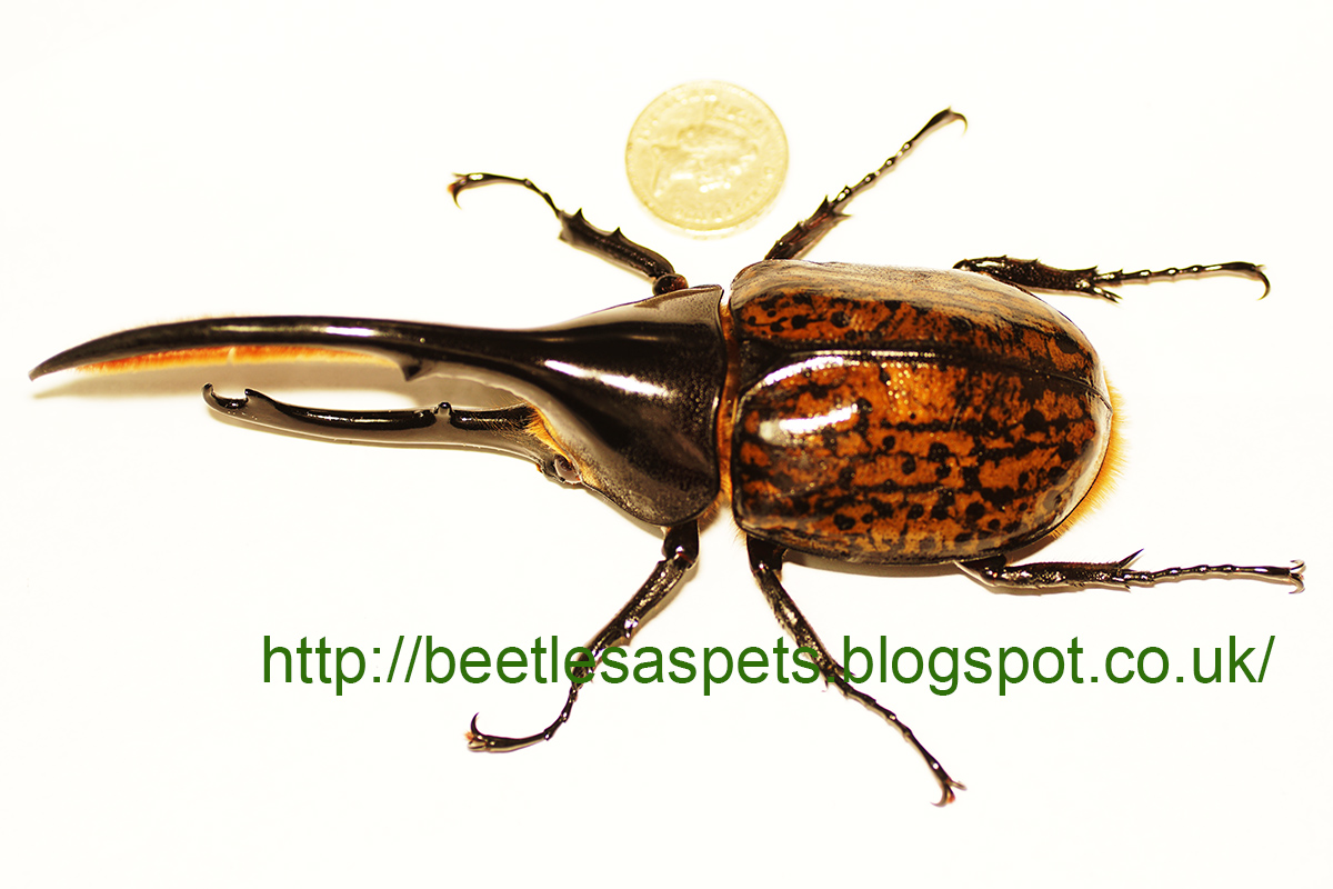 Beetles As Pets Exotic Beetle Larvae For Sale 18 09 2015