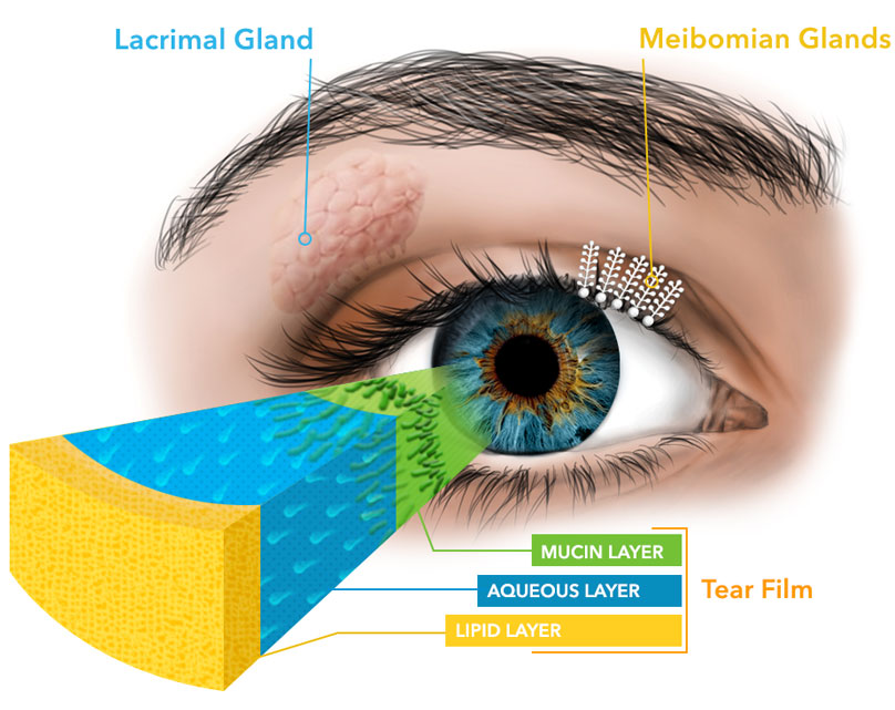 Eyelid blinking exercises overlake eyecare ps the mucin layer is closest to the eye the aqueous or water layer is in the middle and the lipid or oil layer is the outermost ccuart Gallery