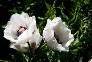 Цветок Евгении - мак