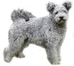 Anjing Ras Pumi