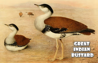 The Great Indian Bustard
