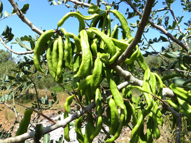 Carob tree fruit johanneksenleipäpuun hedelmä Mallorca