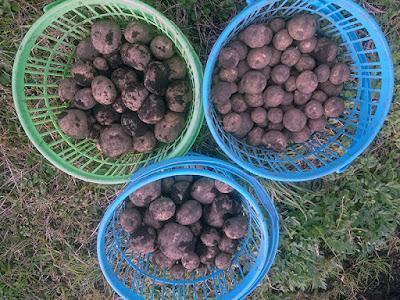 収穫した秋ジャガイモは不作