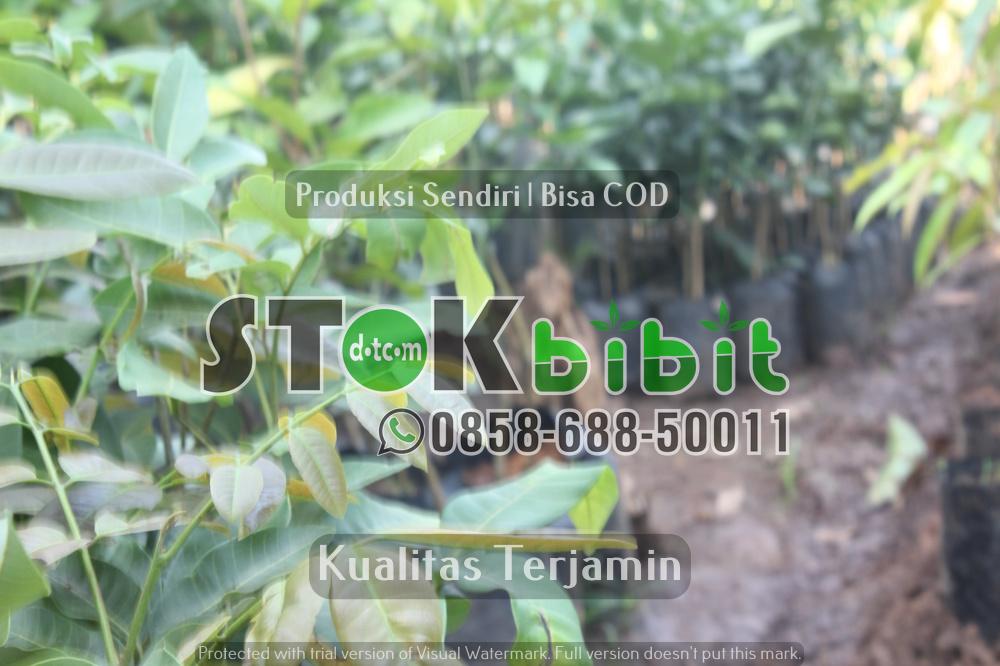 Keunggulan Bibit Durian Kaki Ganda       Unggul       Berkwalitas