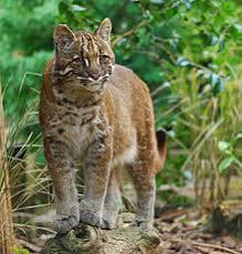 Kucing Emas, Hewan Eksotis Keluarga Harimau