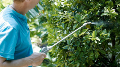 Spraying lemon trees with foliar feed