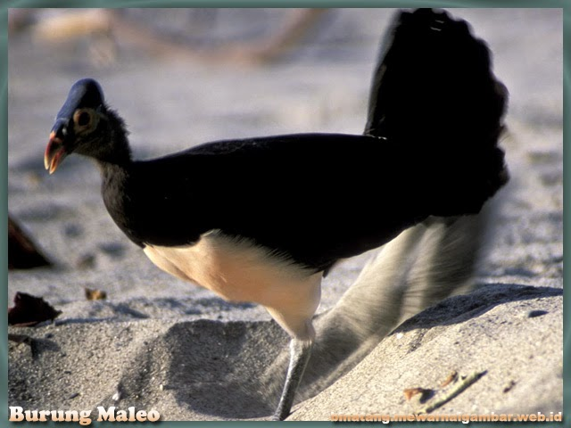 gambar burung maleo