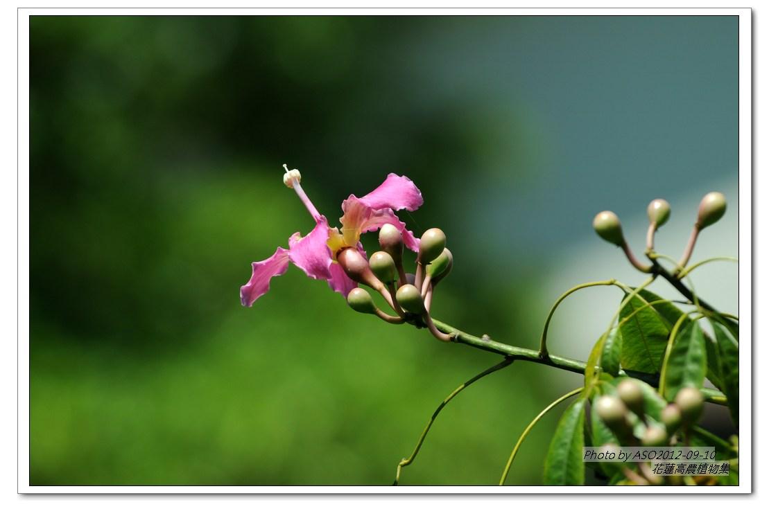 花蓮高農 植物園區: 美人樹