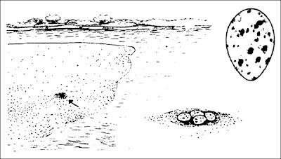 nido de Rayador Rynchops niger
