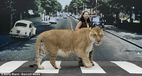 World's Biggest wild Cat ever ~ MyClipta