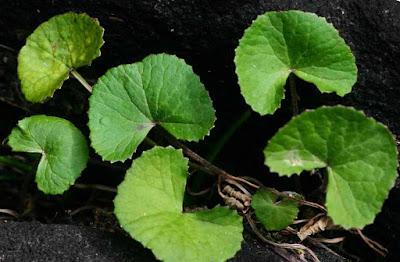 Asiatic Pennywort (Centella asiatica)