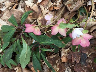 Helleborus niger [Ranunculaceae] – Christmas Rose