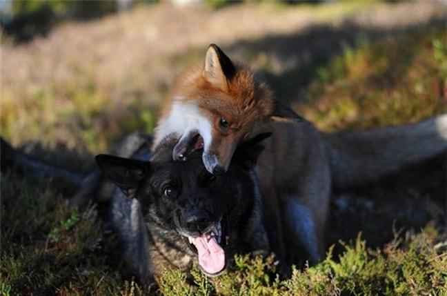Ngụ ngôn cáo và chó -2